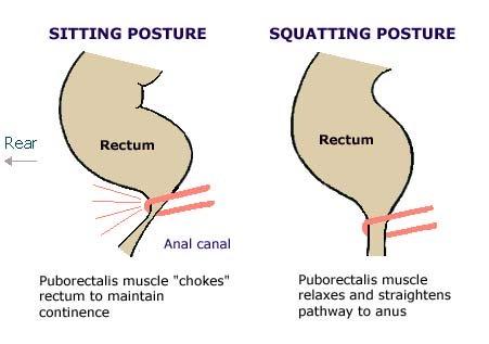 Puborectalis muscle