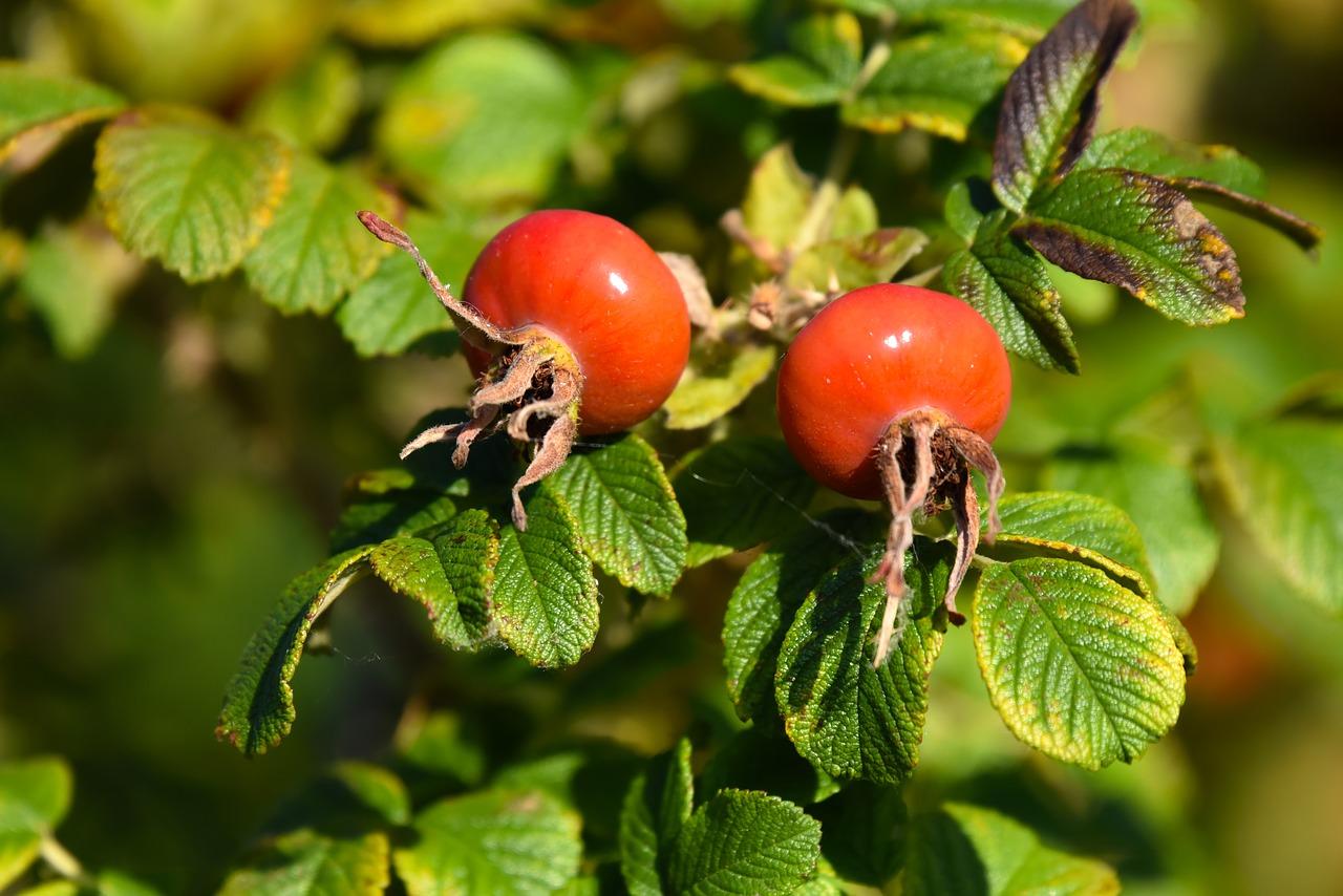 Nypon på en buske, fyllda med C-vitamin